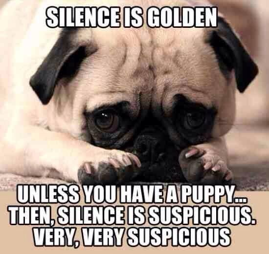 155 Best Images About Pug Memes On Pinterest