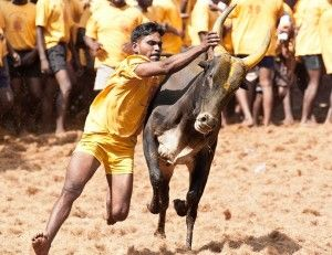 Bull racing and bull fighting involves such horrific cruelty that it was banned in 2014 by the Indian government. Now, officials want to bring back these practices, exposing thousands of bulls to unimaginable suffering. Urge the Indian authorities not to allow bull racing to resume.