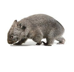 Marsupials Art - Baby common wombat by Science Photo Library