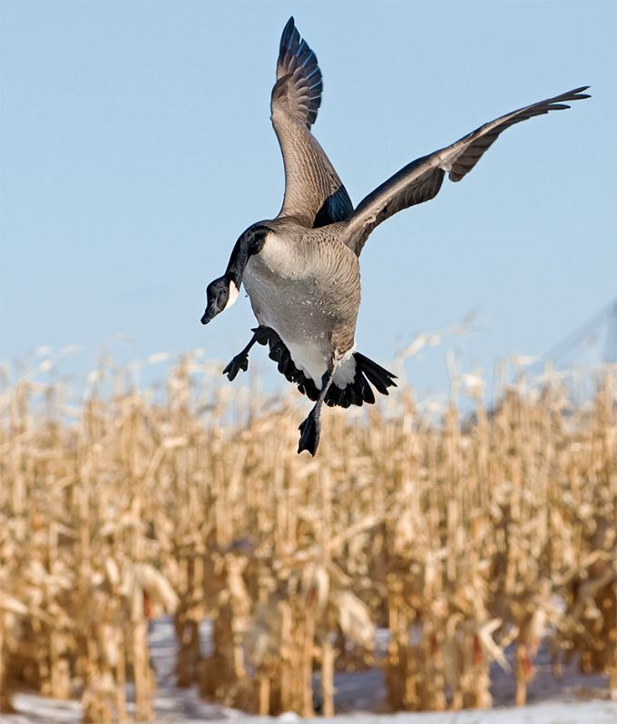 The Late Show: Hunting Canada Geese | Field & Stream