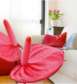 Anthurium Red Love.  Si el Anthurium pasara frío durante mucho tiempo, acabaría muriéndose.