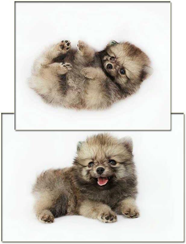 Jual Anjing Mini Pomeranian - Iklan Anjing Dijual - AnjingDijual.BIZ (AnDiZ)  http://anjingdijual.biz/wmview.php?ArtID=158