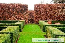 beech hedge - Google Search