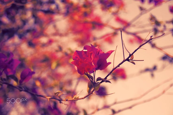 """Evening Bougainvillea - Beautiful Evening Bougainvillea in Tropical Garden Photography. From """"Caribbean"""" photo collection."""