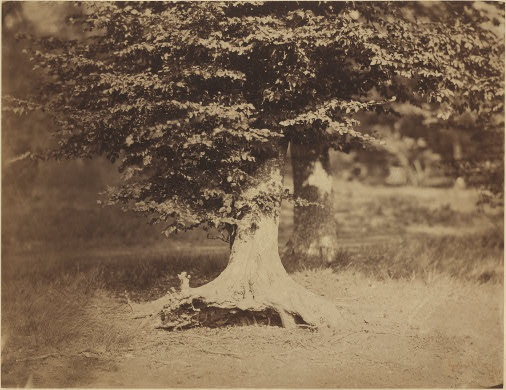 Gustave Le Gray  Beech Tree, Forest of Fontainebleau, c. 1856