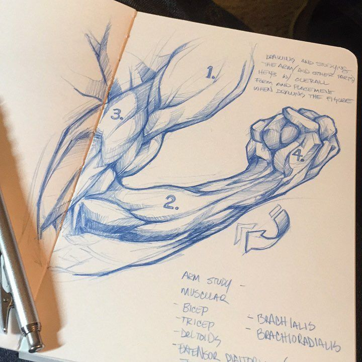 Very... interesting how they came up with the names of our muscular system... - just studying. #anatomy #arm #muscle #artlife #drawdaily #bluelines #themaddpenciler #study #pentel #sketch