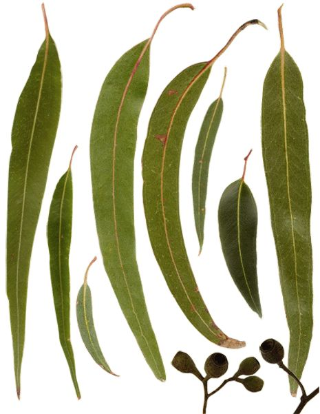 Australian Gum Leaves and Gumnuts