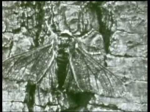 Evolution of the Peppered Moth - YouTube