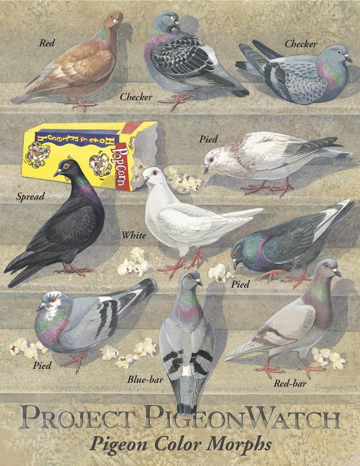 Rock Pigeon Color Morphs