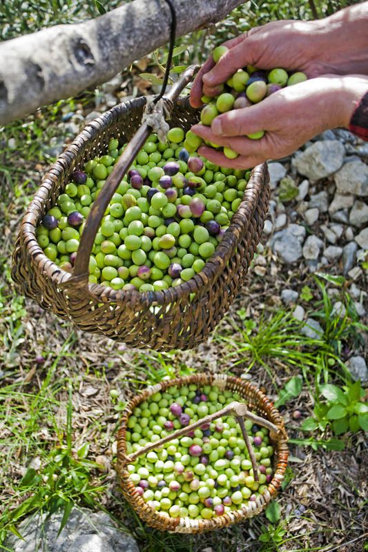 Olive harvest in Makarska, Croatia
