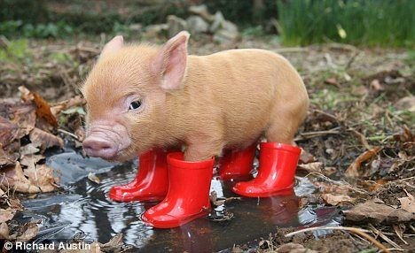 Piglet in wellies.
