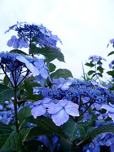 @jan anderson  This is the type I have in my front yard, but they do not look this beautiful. Happy to hear yours are, I will keep trying though.: Lacecap Hydrangeas, Spring Flower, Blue Hydrangeas, Color, Cap Blue, Front Yard, Flower Arrangements, Alkaline, Blue Lacecap
