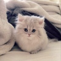 15 MOST LOVING CAT BREEDS FOR KIDS – YOU WON'T BELIEVE #1