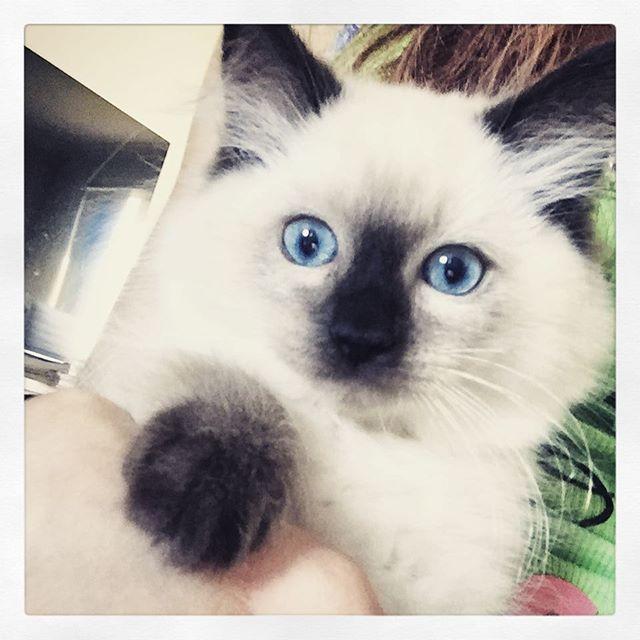 Luna 🌙 she has the most majestic blue eyes ✨ such a pleasant loving nature! 💖  #ragdoll #ragdollcat #magic #spiritual #kitten #blueeyes #pretty #cute #cutepets #catsofinstagram #adorable #majestic #happy #family #love #luna #beautiful #nature #cutest #boho #catlady #hippy #catlover