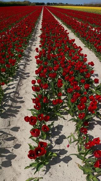 #Bretagne - Finistère : 20 avril, balade à vélo dans les champs de tulipes du côté de la pointe de La Torche et de la chapelle de Tronoen © Paul Kerrien @ http://toilapol.net