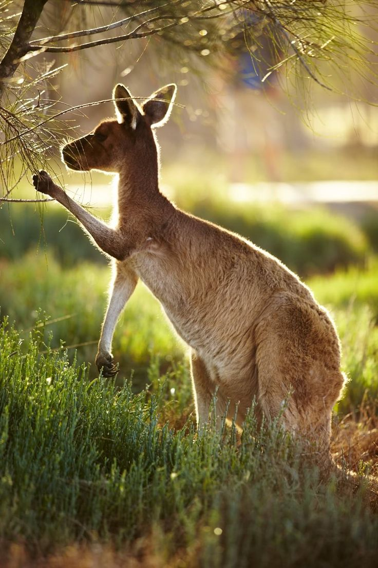Kangaroo just outside of Perth Western Australia.