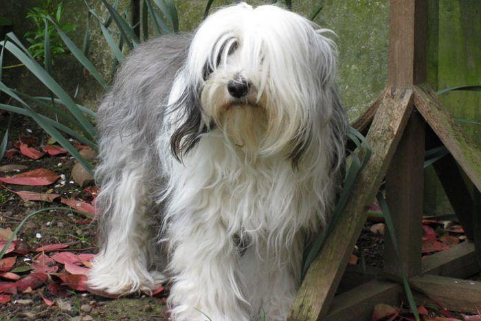 El Terrier Tibetano Es un perro chino que convivía principalmente con monjes budistas y nómadas con una gran capacidad de adaptabilidad a cualquier entorno, por su inteligencia. A esta especie se le dio el nombre de terrier mas no es la terminología que debe ser utilizada, ya que, aunque posee un tamaño mediano, no es un perro sabueso o de cacería.