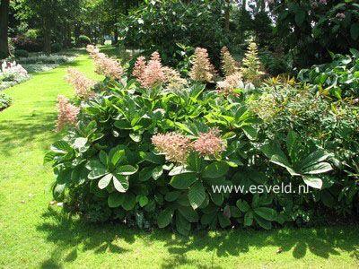Картинки по запросу Rodgersia sambucifolia