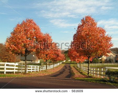 Maple Tree Lined Driveway With Pillars Google Search