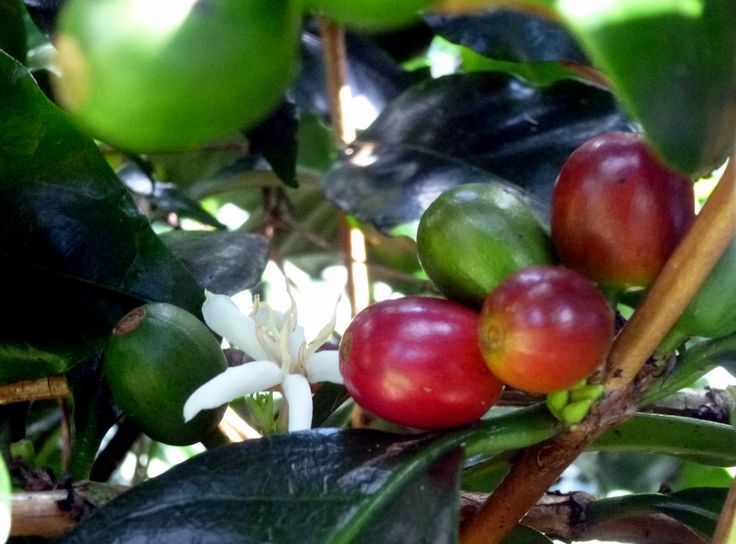 Such a lovely sight. Coffee flowers, green berries, and red cherries.  Our guest enjoy the coffee tour as part of their stay in rehab. It sure makes the coffee taste better after you realize all the work! Sobriety is a gift you give to yourself. Serenity Vista is a private, confidential addiction recovery treatment center in Central America. Affordable, professional, run by Canadians. www.serenityvista.com