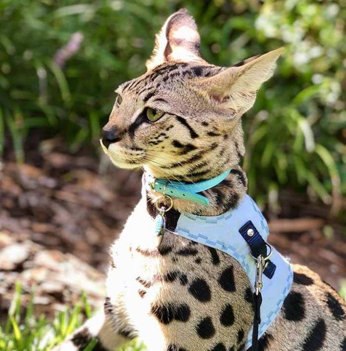 Gato Savannah Todo Sobre El Gato Más Alto Del Mundo Feelcats Razas De Gatos Gatos Savannah