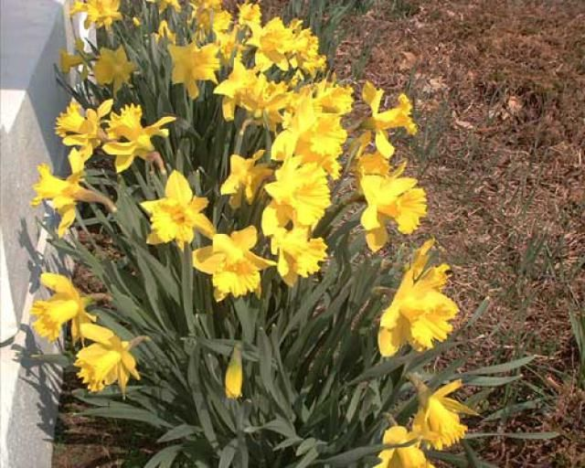 Pictures of Yellow Flowers: Picture of Yellow Daffodils