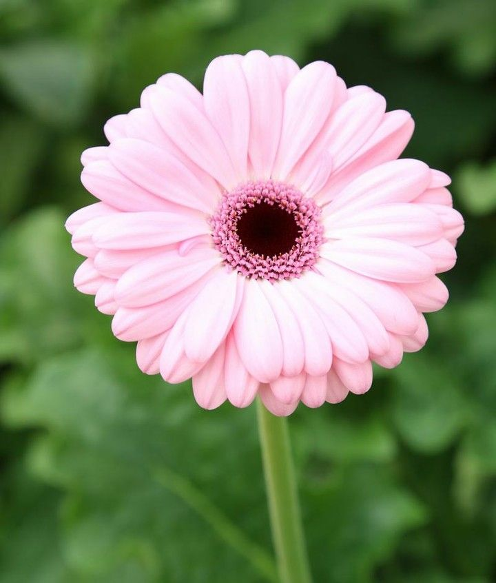 A Gerbera A Day Keeps The Doctor Away Thats How The Saying Goes Right Cagrown Americanflowersmonth Californi Flower Painting Flower Farmer Flower Lover