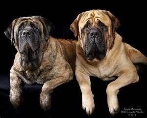 English Mastiff - Bing Images