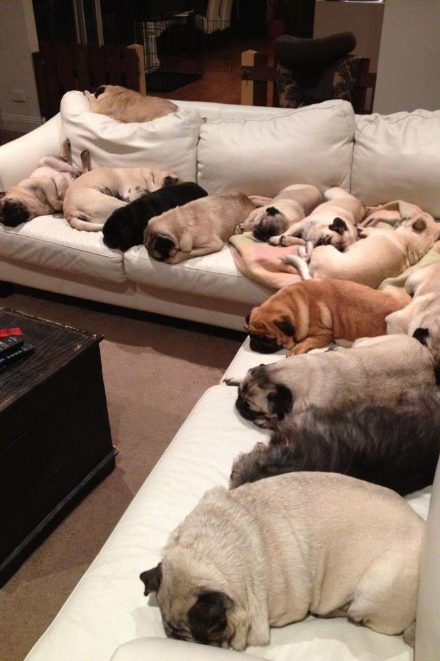 Lounging pugs