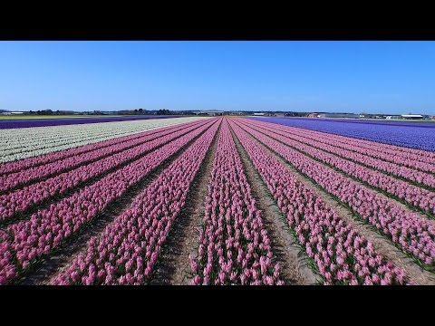 Así se ven (y disfrutan) los campos de tulipanes en Holanda desde el aire | Noticias Uruguay y el Mundo actualizadas - Diario EL PAIS Uruguay