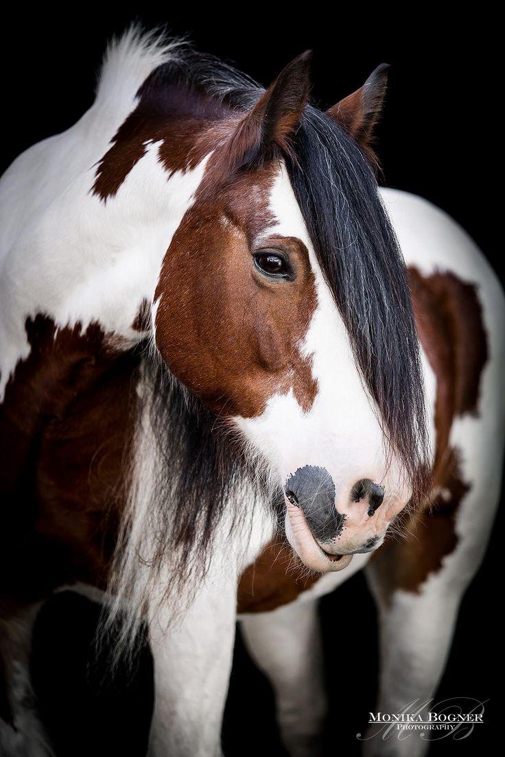 Tinker Irish Cob – Retratos de cavalos clássicos na frente de fundo preto – Monika …   – Pferde vor schwarzem Hintergrund