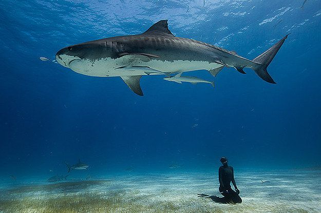 Freediver frolics with sharks in Bahamas