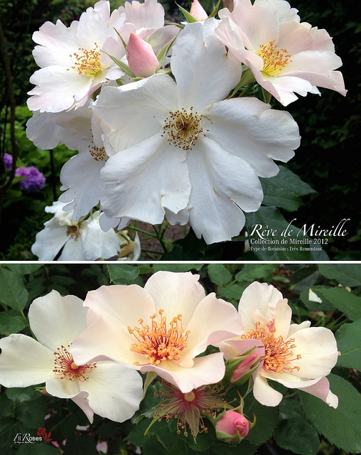 The rose in the bottom panel isn't the same as the one in the top, Rosa Reve De Mireille by FilRoses Le Temps des Roses.  Anyone know what rose the bottom one is?  Look at the red filaments.....  Climbing Dainty Bess?  They don't look dark enough for that.  Astronomia?  Anybody?