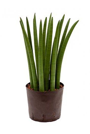 best 25 sansevieria cylindrica ideas on pinterest rare succulents weird plants and names of. Black Bedroom Furniture Sets. Home Design Ideas