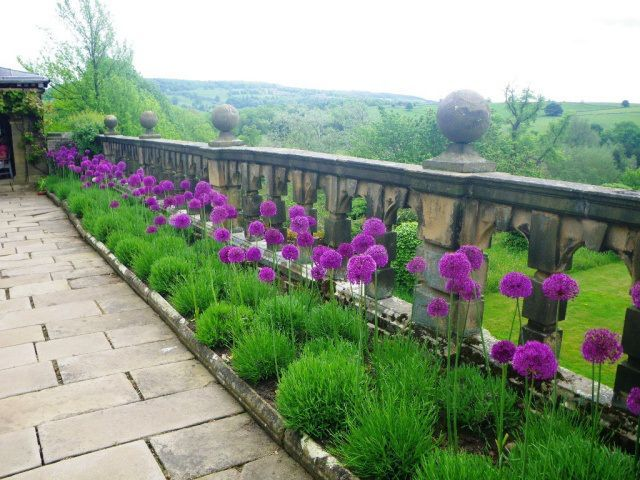 alliums in lavender - Stunning summer gardens. Show stoppers. Alliums with dwarf almond trees