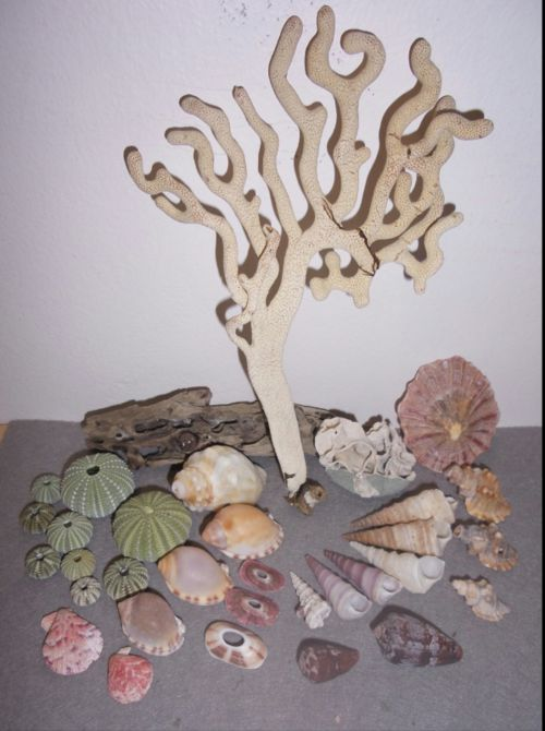 Buy Sea Shells & rare sea grass from Jeffreys Bay (cleaned handpicked) for R39.50