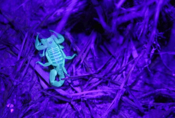 in the Mojave, scorpions glow under black light