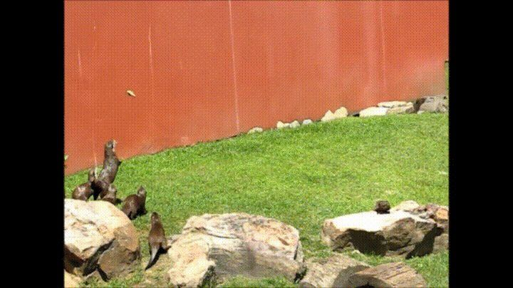 Bunch of otters chasing a butterfly - GIF on Imgur