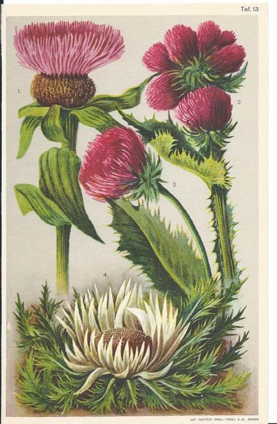 Vintage German Botanical Coloured Book Plate by BooksOnSea