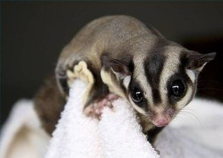 List of Foods That Sugar Gliders Can Eat (with Pictures) | eHow