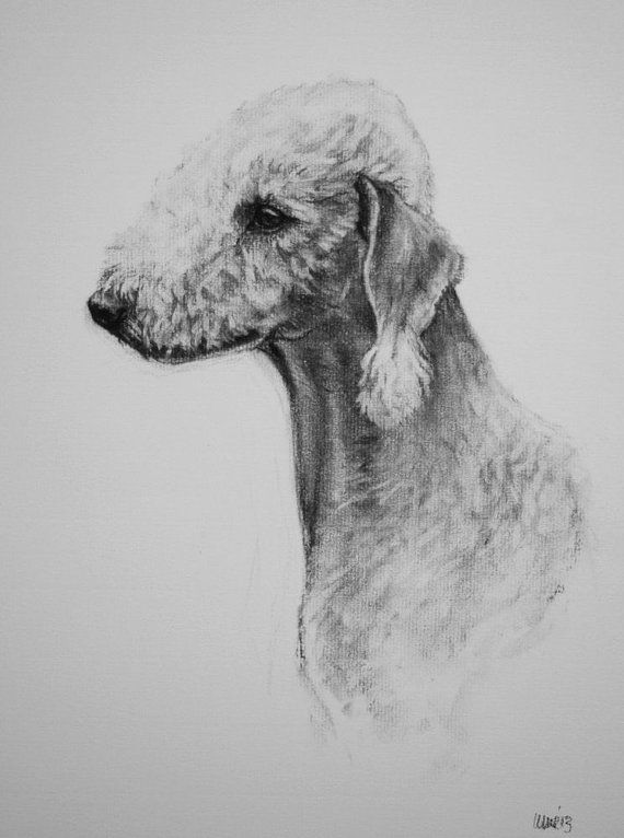 Bedlington Terrier dog fine art Limited Edition print from an original charcoal drawing