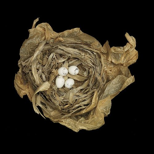 Western Yellowthroat  Geothlypis trichas  by sbealsCommon Yellow, Wild Animal, Throat Nests, Sharon Beals, Animal Pictures, Yellow Throat, Birds Nests, Amazing Birds, Animal Nests