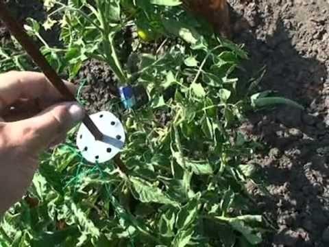 Подвязка помидоров, перцев и т.п. в открытом грунте - YouTube