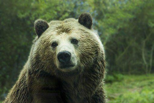 Niedźwiedź, Niedźwiedź Grizzly