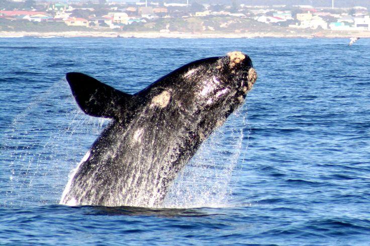 Whale Watching | June to November | Hermanus