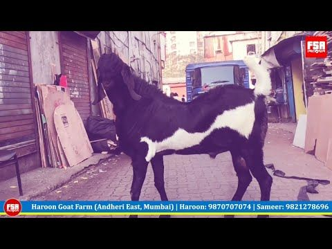 Mumbai's Biggest Punjabi Beetal Goat For Sale good for milk