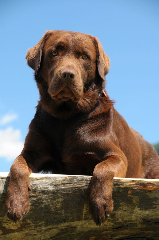 Chocolate lab Spaniel Terrier Dog Photography Puppy Hounds Chien Puppies Pup Labrador retriever Labs