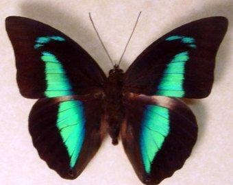 Estas mariposas son comúnmente conocidas como el rojo Agrias. Estas mariposas impresionante rojas y azules son altamente coleccionables.  Nunca tendrás que preocuparse por nuestras mariposas descoloramiento. Todos nuestras pantallas se hacen con el 99% de bloqueo UV de cristal una calidad única y poco común en nuestras pantallas.  * A1 Museo conservación calidad archivo Real marco de mariposas e insectos muestra * Todos hechos con materiales Archival/ácido libre y vidrio de conservación de…