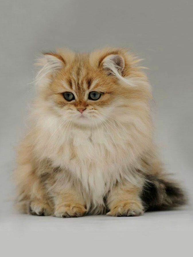 ♔ Golden Tabby Persian