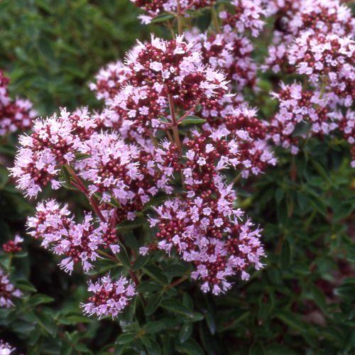 ORIGANUM vulgare 'Roseum' (Origan - Marjolaine) : Feuillage aromatique. Peu exigeants. Recommandés pour les emplacements secs et chauds. Massif, rocaille. Les fleurs forment un tapis dense, rose pourpré.